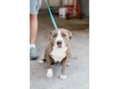 Adopt Mimi a White American Pit Bull Terrier / Mixed dog in Fresno