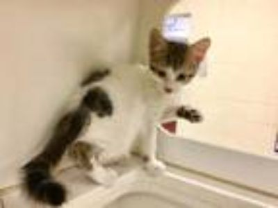 Adopt PATCHES a Tan or Fawn (Mostly) Domestic Shorthair / Mixed (short coat) cat