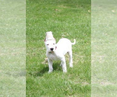 Dogo Argentino PUPPY FOR SALE ADN-131043 - MALE AKC Dogo Argentino Puppy