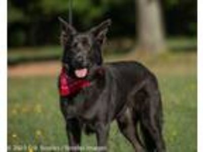 Adopt Lex a German Shepherd Dog