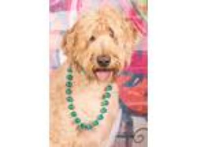 Adopt Sadie a Golden Retriever, Poodle