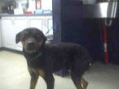 Adopt BRUNO a Black - with Tan, Yellow or Fawn Rottweiler / Mixed dog in