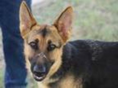 Adopt Tulip H3 a Brown/Chocolate German Shepherd Dog / Mixed dog in Georgetown