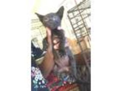 Adopt PAUL a All Black Domestic Shorthair / Domestic Shorthair / Mixed cat in