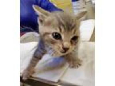 Adopt *PAPRIKA a Gray, Blue or Silver Tabby Domestic Shorthair / Mixed (short