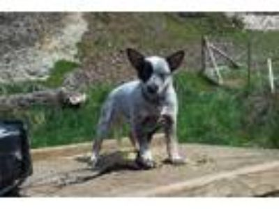 Mini Queensland Blue Heeler female