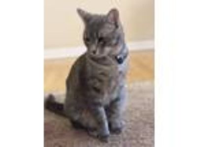 Adopt Milo a Gray, Blue or Silver Tabby Domestic Shorthair / Mixed cat in Round