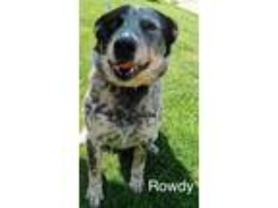 Adopt Rowdy a Tricolor (Tan/Brown & Black & White) Australian Cattle Dog / Blue
