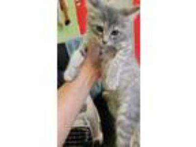 Adopt Dolls a White Domestic Shorthair / Domestic Shorthair / Mixed cat in