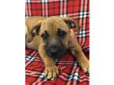 Adopt Brownie a Brown/Chocolate Australian Shepherd / Mixed dog in Staunton