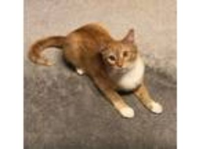 Adopt Elmira a Orange or Red Tabby Domestic Shorthair (short coat) cat in
