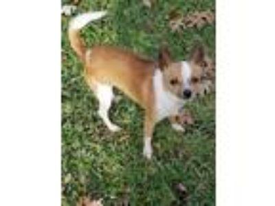 Adopt Roberto a Mixed Breed (Small) / Mixed dog in Lake Jackson, TX (22253114)