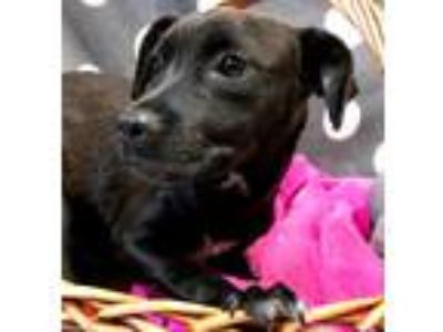 Adopt Wendy a Black Retriever (Unknown Type) / Pit Bull Terrier / Mixed dog in