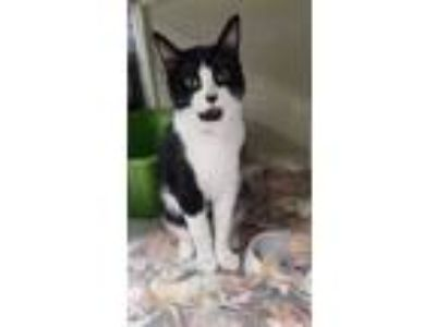 Adopt Ivy 2 a Domestic Short Hair