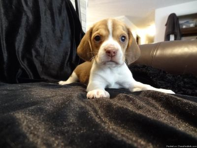 Two cute beagles puppies