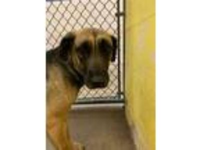 Adopt Twin a Brown/Chocolate Black Mouth Cur / Labrador Retriever / Mixed dog in