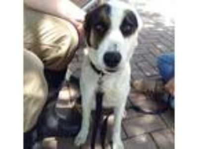 Adopt a Tricolor (Tan/Brown & Black & White) Border Collie / Mixed dog in