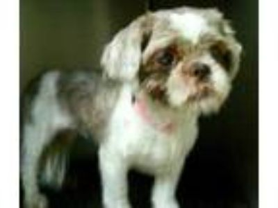 Adopt Tootie a Brown/Chocolate Shih Tzu / Mixed dog in Gary, IN (25862782)