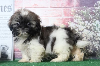 Shih Tzu PUPPY FOR SALE ADN-95851 - Betty Snuggly Female ShihTzu Puppy