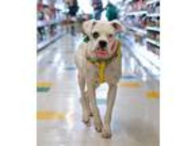 Adopt Nessa a Boxer / Mixed dog in SHAKOPEE, MN (25923111)