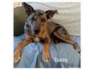 Adopt Daisy a Black - with Brown, Red, Golden, Orange or Chestnut Great Dane /