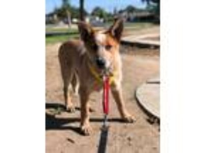Adopt TURNER a Cattle Dog