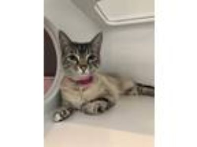 Adopt Felicia a Gray or Blue (Mostly) Siamese (short coat) cat in Grayslake
