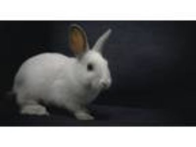 Adopt Quill a Bunny Rabbit