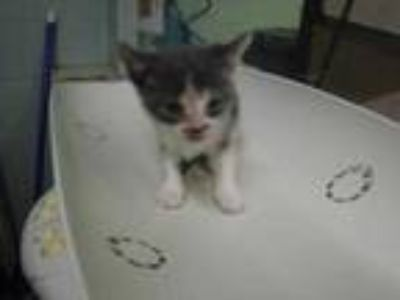 Adopt 41663932 a Gray or Blue Domestic Shorthair / Domestic Shorthair / Mixed