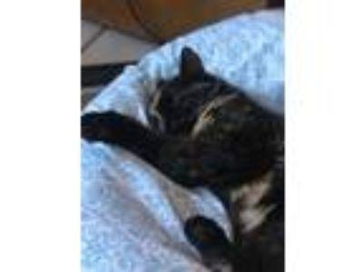 Adopt Freya a Tortoiseshell Domestic Longhair cat in Imperial, MO (25831319)