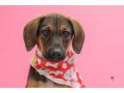 Adopt Pearl a Coonhound