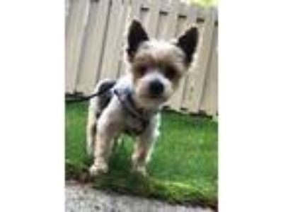 Adopt Ringo a Yorkshire Terrier