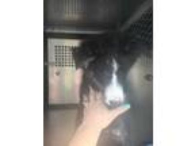 Adopt 42001407 a Black Australian Shepherd / Border Collie / Mixed dog in Fort