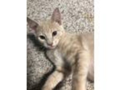 Adopt Chris a Tan or Fawn Domestic Shorthair / Domestic Shorthair / Mixed cat in