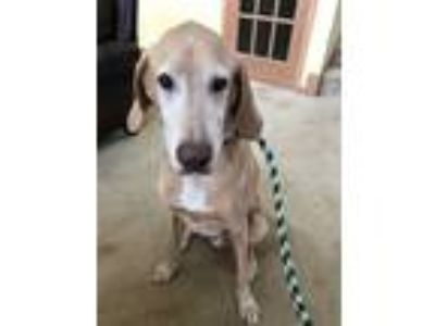 Adopt Clementine a Tan/Yellow/Fawn - with White Hound (Unknown Type) / Labrador