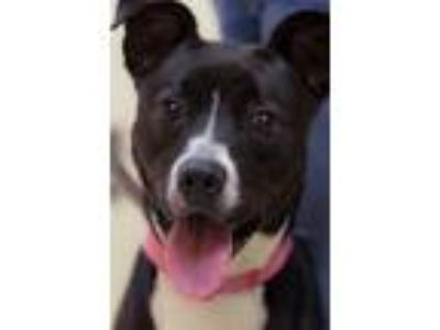 Adopt Elsa a Boxer, Border Collie