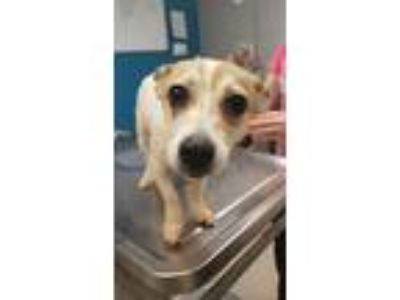 Adopt Pepper a Jack Russell Terrier, Mixed Breed