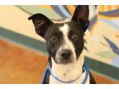 Adopt Suave a Black Australian Cattle Dog / Retriever (Unknown Type) / Mixed dog