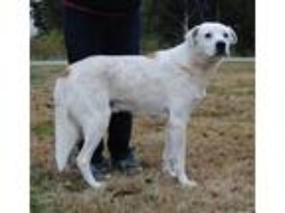 Adopt Andy a White - with Tan, Yellow or Fawn St. Bernard / Mixed dog in