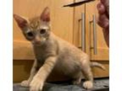 Adopt SHAMROCK a Orange or Red (Mostly) Domestic Shorthair / Mixed (short coat)