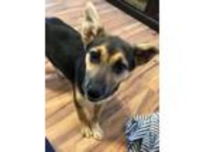 Adopt Daphne a Shepherd (Unknown Type) / Mixed dog in Boston, KY (25353999)