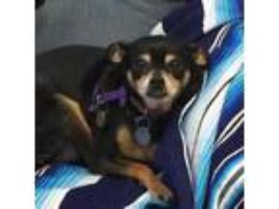 Adopt Adeline a Black Miniature Pinscher / Terrier (Unknown Type