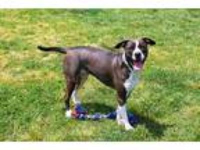 Adopt MARGE a Gray/Silver/Salt & Pepper - with White American Pit Bull Terrier /