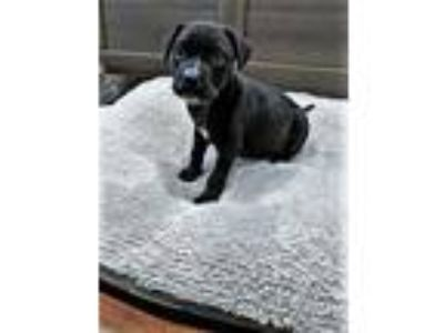 Adopt Versace a Black Mixed Breed (Medium) / Mixed dog in Beaumont
