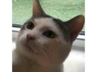 Adopt Mister a White (Mostly) Domestic Shorthair (short coat) cat in Cedar