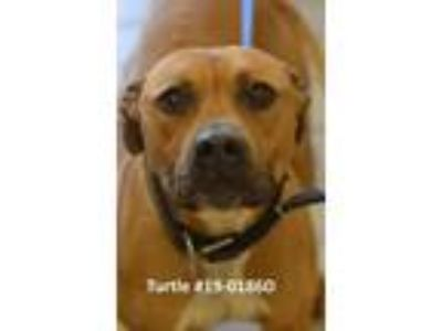 Adopt TURTLE a Pit Bull Terrier