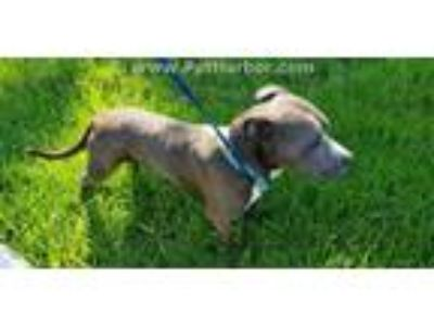 Adopt ROMEO a Pit Bull Terrier, Mixed Breed