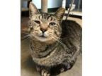Adopt Hawk a Domestic Short Hair