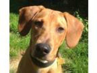 Adopt Jenny a Yellow Labrador Retriever, Hound