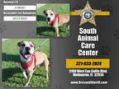 Adopt BOSCO a Tan/Yellow/Fawn - with White Mixed Breed (Medium) / Mixed dog in